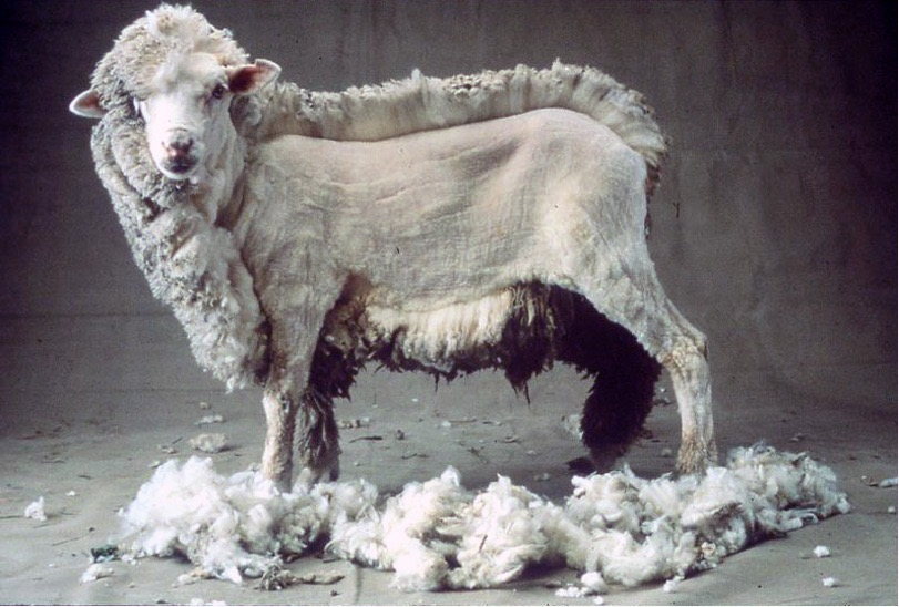 shaved-sheep
